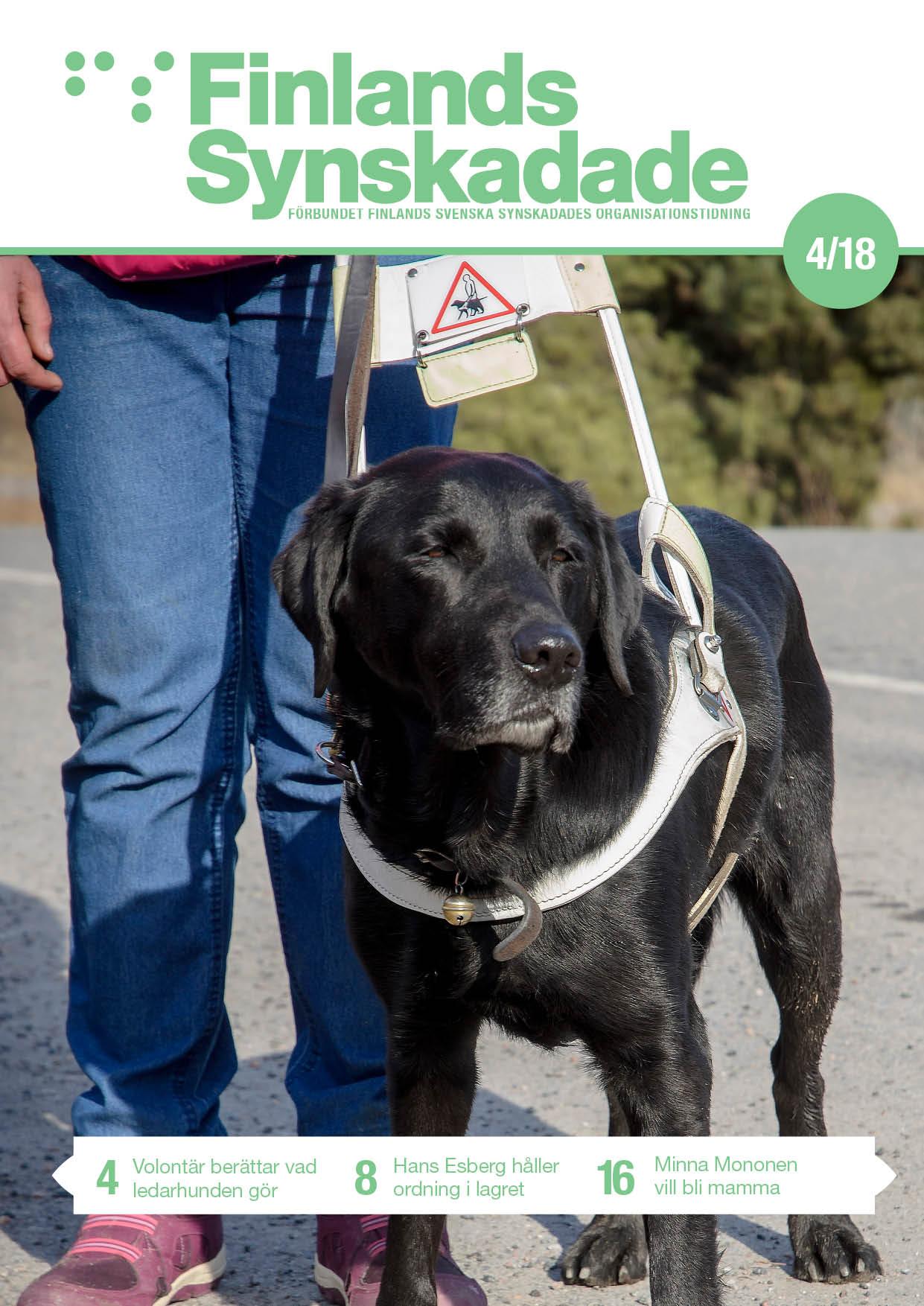 Svart labrador i ledarhundsele
